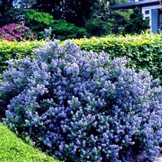~~~reminds me of a california lilac~~~Flowering Shrubs Hedge - 5 hedge plants Ceanothus Yankee Point - Blue Bushes And Shrubs, Flowering Bushes, Planting Shrubs, Garden Shrubs, Planting Flowers, Hedging Plants, California Lilac, California Native Plants, Perennials