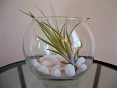 Air Plant in Round Glass Vase with White Stones. $17.00, via Etsy.