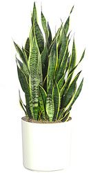 Snake plant, in container