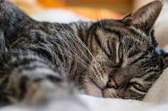 Remédios caseiros para a diarreia em gatos