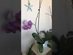 Orkide nasıl çiçek açtırılır, Coşturulur - YouTube Make It Yourself, Youtube, Flowers, Plants, Florals, Plant, Flower, Youtubers, Youtube Movies