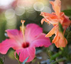 Tropical hibiscus... in pots around the pool.  Dreamy.