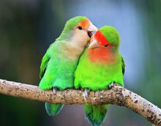 Two Peach-faced Lovebird Photograph by Feng Wei Photography - Two Peach-faced Lovebird Fine Art Prints and Posters for Sale