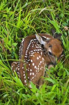 sweepy fawn