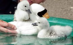 A pair of baby cygnets hatched in an incubator have their first swimming lesson at the Birdland animal park in Bourton-on-the-Water.Unlike in the wild, these chicks had never seen water before and keeper Chris Abbey had to coax them in to a special pool using a decoy soft toy to replicate their parents.  from telegraph.co.uk