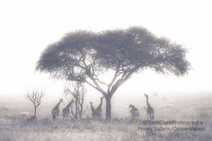 Giraffe photograph, African Giraffe photo, wildlife photography, safari animals, jungle animals