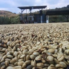 pergamino drying at queseria