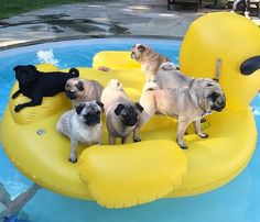 Best pool party ever! Photo by @woodytheblackpug Want to be featured on our Instagram? Tag your photos with #thepugdiary for your chance to be featured.