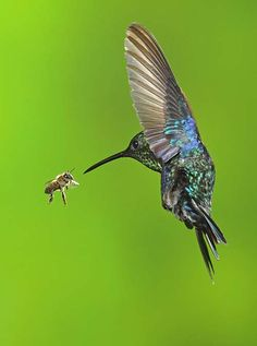 Hummingbird and bee - face to face!