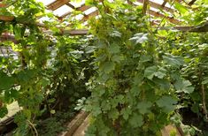 Pildiotsingu viinamari kasvuhoones tulemus