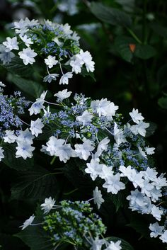 """Japanese Hydrangea named """"Sumidano Hanabi"""", means Fireworks in Sumida. Sumida is downtown in Tokyo that continued from the Edo era."""