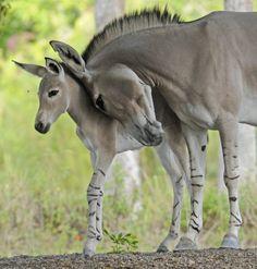 critically endangered Somali Wild Ass