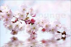 Bildergebnis für kirschblüten