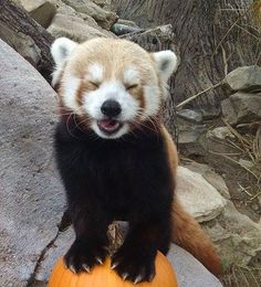 Pumpkins are funny to our Red Panda Kane.