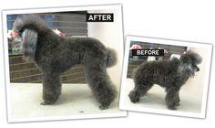 The Poodle: Pet/Puppy Trim