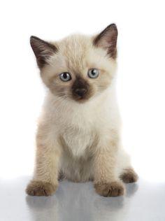 *This Siamese kitten is so cute! (: <3