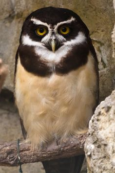 Spectacled owl portrait by Dmitri Gomon