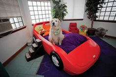 Jack, the golden retriever of Dr. Mike Jones, Woodland West Animal Hospital director, tries out a bed in the Lamborghini Suite during a recent boarding.