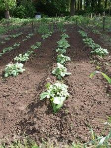 Aardappelen kweken https://www.moestuinweetjes.com/alles-over-aardappelen-met-wim-boers/