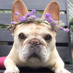 "8,950 Likes, 70 Comments - Tag #frenchies1 for features (@frenchies.1) on Instagram: ""@thedailywalter  All the girls on Snapchat be like  . . . . . . #sundayselfie #flowerfilter…"""
