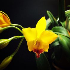 Jackfowlieara Hsinying Blossom