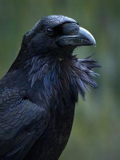 Common Raven (Corvus corax) by ER Post, via Flickr