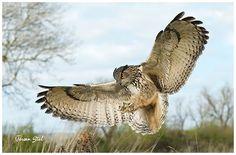 Eagle Owl by www.jeroenstel.com, via Flickr