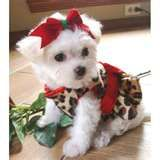 maltese dogs - Bing Images
