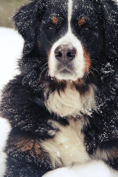 Berner + Snow = Happy Dog!
