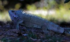 An iguana in the Pantanal wetlands, in Pocone, Brazil. Pantanal is the planet's largest wetlands, near World Cup host city of Cuiaba, located in the exact geographical centre of South America.