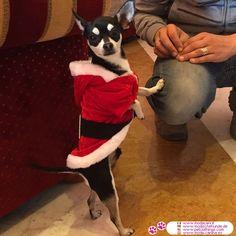 Vestito di Babbo Natale per Cani #ModaCani #Chihuahua - Cappottino per cani identico al Vestito di Babbo Natale, rosso con cinta nera e fibbia argentata in plastica; perfetto come regalo di Natale