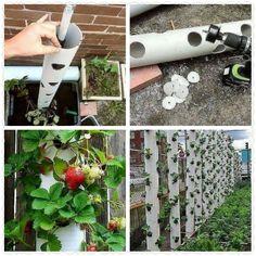 Verticaal aardbeien kweken: weinig plek/geen onkruid/handig watergeven via slangen bovenin/geen rottende aardbeien op de grond/weinig slakken...proberen maar!
