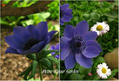 Petra Rosso' Garden. Blue & purple flower bed. Anemone coronaria. Spring