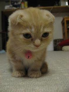 munchkin cat scottish fold
