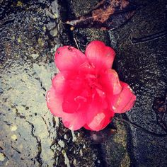 Camellia flower, a rain-battered victim in my UK garden. (at Lewes, East Sussex) Photographs, Rose, Flowers, Plants, Pink, Photos, Plant, Roses, Royal Icing Flowers
