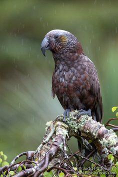 Nestor meridionalis - (nestor) kaka - New Zealand Kaka EN