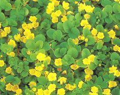 Suikeroalpi - Lysimachia nummularia I have this in my garden at home!!