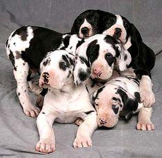 Sweet, precious babies! Harlequin great dane puppy... gentle giants :)