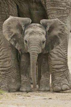 Baby elephant beneath its mother's legs.