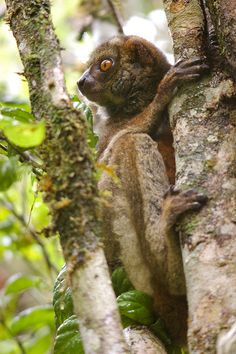 Woolly Lemur from Madagascar, Africa. Travel to Madagascar with ISLAND CONTINENT TOURS DMC. A member of GONDWANA DMC, your network of boutique Destination Management Companies for travel across the globe - www.gondwana-dmcs.net