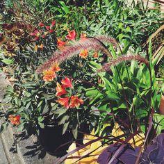 Pennisetum setaceum 'Rubrum' / Aug.2015