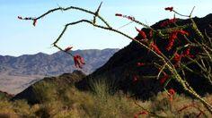 Desert Blooms 0109 HD Stock Footage https://vimeo.com/214828905?utm_content=buffere2f05&utm_medium=social&utm_source=pinterest.com&utm_campaign=buffer