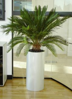 Cycas Revoluta planted in Geo Pillar pot Big Indoor Plants, Indoor Trees, Indoor Plant Pots, Outdoor Plants, Outdoor Gardens, Leafy Plants, Large Plants, Foliage Plants, Interior Design Plants