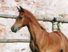 Nawaf (Authentic Ibn Nawal x Ken Mufaji) 2003 chestnut colt