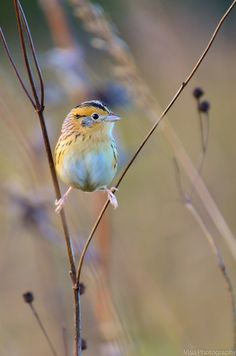 Le Conte's Sparrow by Visu Nandakumar on 500px