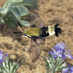 An online resource devoted to North American insects, spiders and their kin, offering identification, images, and information. Types Of Butterflies, Beautiful Butterflies, Hummingbird Moth, All Gods Creatures, Little Birds, Amazing Nature, Great Artists, Pet Birds, Animals Beautiful