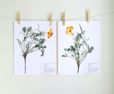 Poppy Botanical PRINT set, Herbarium Specimen Art, California Poppy Prints, Real Pressed Plant Art, Dried Flower, Orange Wild Flower Prints