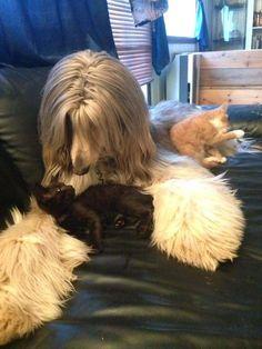 Afghan hound and her kittens
