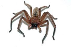 Huntsman spiders deserve a place alongside koalas and kangaroos as iconic Australian wildlife.