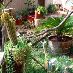 DeGrazia Gallery in the Sun's cactus courtyard. Open daily from 10-4; free admission. #NationalHistoricDistrict #DeGrazia #Artist #Ettore #Ted #GalleryInTheSun #ArtGallery #Gallery #Adobe #Architecture #Tucson #Arizona #AZ #Catalinas #Desert #Courtyard #teddegrazia #galleryinthesun #degrazia #Cactus #Cacti #Succulents